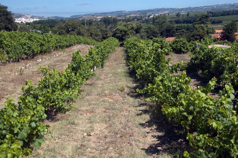 Виноградники Quinta do Sanguinhal
